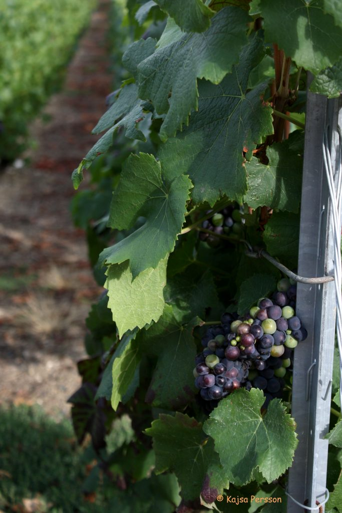 Vindruvor, vinrankor