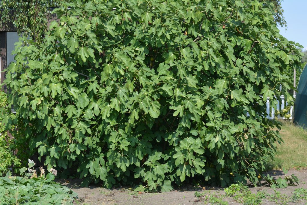 Bornholms fikonträd